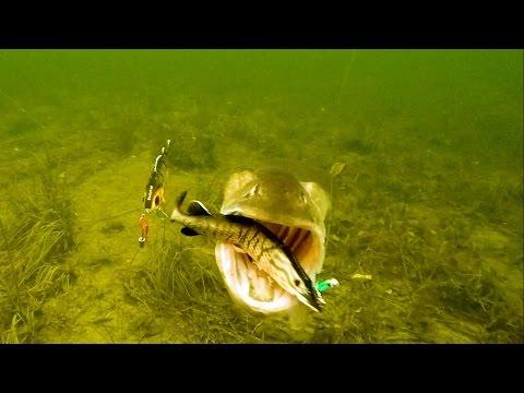Vette aanbeten onder water – Check welke shad de snoek uitkiest