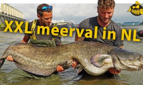 ***Roofmeister VIDEO*** Vissen groter dan wij mensen – Meerval van ruim 2 meter in Rotterdam